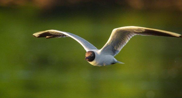 Azərbaycanda yeni quş növü aşkarlandı